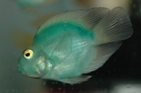 Green parrot cichlid